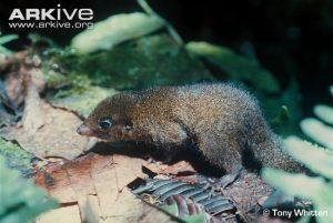 Tupaia chrysogaster